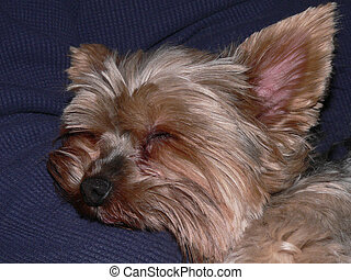 Napping Yorkie - Close-up of a yorkshire terrier sleeping