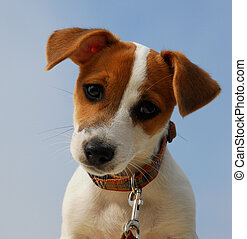 portrait of pup terrier - portrait of puppy jack russel...