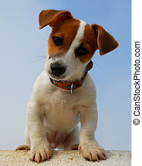 sitting pup jack russel - sitting puppy jack russel terrier
