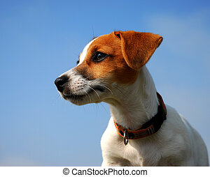 profil of pup jack russel - profil of purebred jack russel...