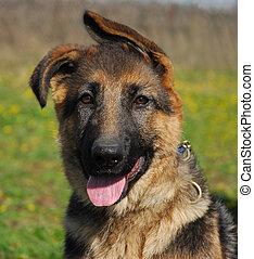 pup german shepherd - puppy purebred german shepherd