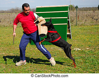 police dog - training of police dog doberman