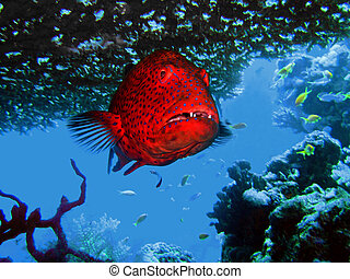 grouper under a coral in the sea