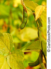 Soybeans - Soy beans growing on a soybean plant in a field