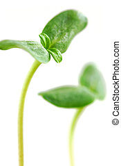 Green sprouts - Young sprouts of sunflower plant isolated on...