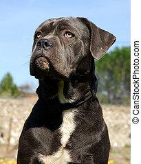 italian mastiff - purebred cane corso