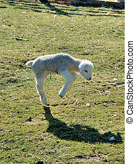 Playtime! - New born lamb jumping and watching it\\\'s...