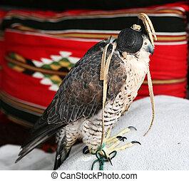 Arabian falcon - A Qatari falconers bird, a shaheen...