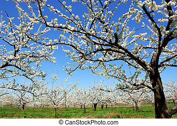 Apple orchard - Old blooming apple trees in a spring orchard