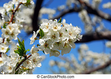 Apple orchard - Old blooming apple trees in a spring...