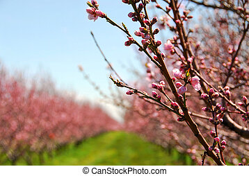Fruit orchard - Rows of blooming peach trees in a spring...