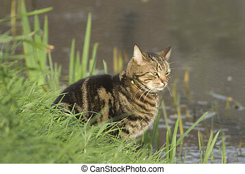 Hunting Cat - Cat waiting by the side of the river to catch...