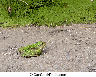 Green frog ashore lake, coated of green algae