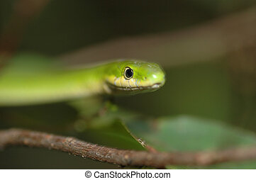 Rough Green Snake - Portrait of a rough green snake with a...