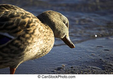 Ponderous Duck - Getting a duck perspective of looking for...