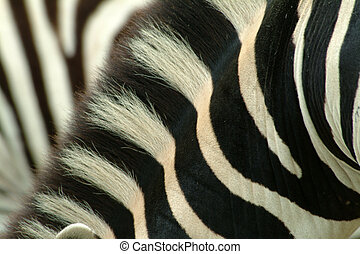 Zebra neck - close-up of a zebra neck, taken in South Africa