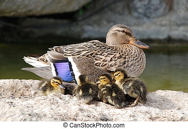 Mama and Baby Ducks - Mother mallard duck keeps her baby...