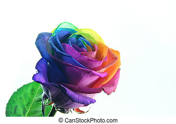splendid rose with the petals in many colors