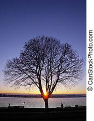 viola, tramonto, albero