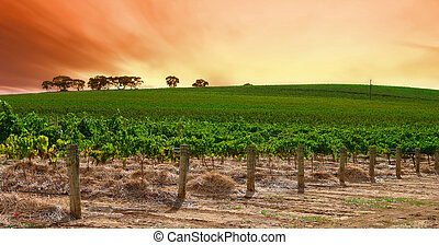 Rolling Vineyard Sunset  - Scenic Vineyard at Sunset