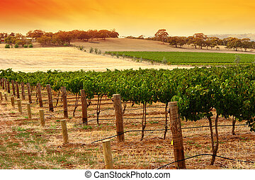 Barossa Vineyard Sunset - A Scenic Vineyard at Sunset in...