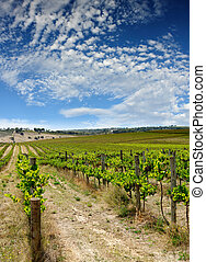 Summer Vineyard - Beautiful Vineyard at Mclaren Vale, South...
