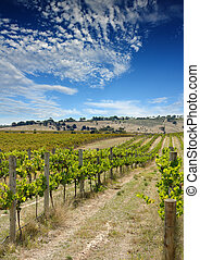 Summer Vineyard 2 - Beautiful Summer vineyard at Mclaren...