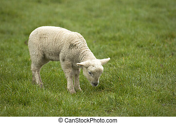 Lamb - Spring Lambs in a field in the UK