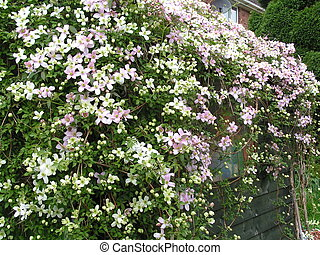 overgrown shed - Clematis Montana plant growing over a shed...