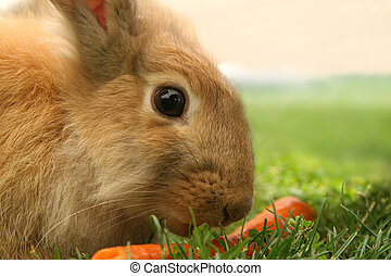 Conejo_5438 - Rabbit looks attentively whilst eating a...