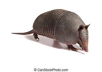 Mulita_2488 - Mulita, Armadillo of six bands, on to white...