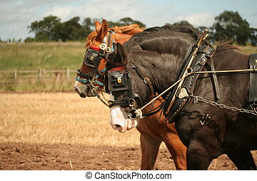 two shire horses - close up of two shire horses ploughing...