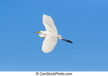 Wide wing spread on blue - Great egret; Ardea alba;...