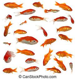 muitos, goldfish