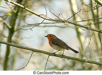 The Robin - Robin standing on a small branch of a tree in...