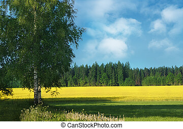 Birch-tree and field of rape - Birch tree in foreground and...