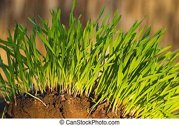 New Green Grass growing