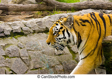 Tiger - The aggressive tiger in zoo