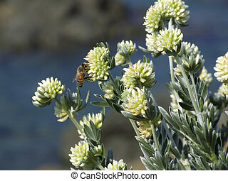 Bee on the flowers - An active bee on perfumed flowers in...