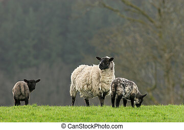 Spring Scene - Female sheep with her two black and grey...