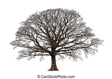 The Oak In Winter - Oak tree in winter devoid of leaves set...