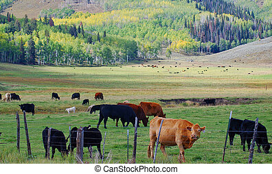 Cattle Grazing - A herd of cattle grazing in a mountain...