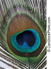 Peacock Feather - The eye of a peacock feather.