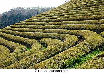 Green Tea Plantation - Rows of green tea on the side of a...