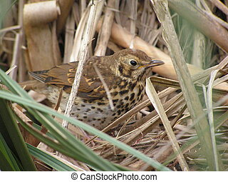 Young Thrush - Young song Thrush, Turdus Philomelos