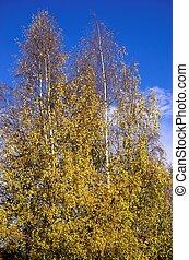 Autumn Colours - Golden birch trees againts a rich blue sky....