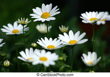 daisies growing closely together