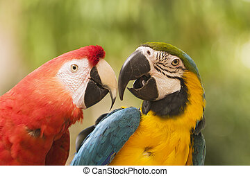 Two Macaws Together - Two brightly colored macaws are...
