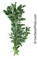 bunch of box twigs (Buxus sempervirens) isolated on white