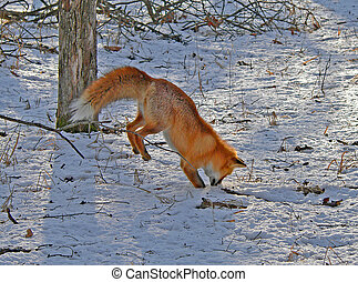 Red Fox is Hunting 2 - The red fox is hunting on the mice....